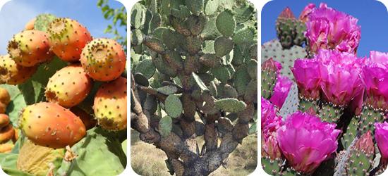 fogyás kaktusz kivonat