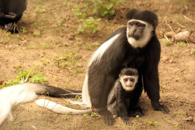 Egyszerre hetven majom lépett le egy állatkertből - Majom lefogy